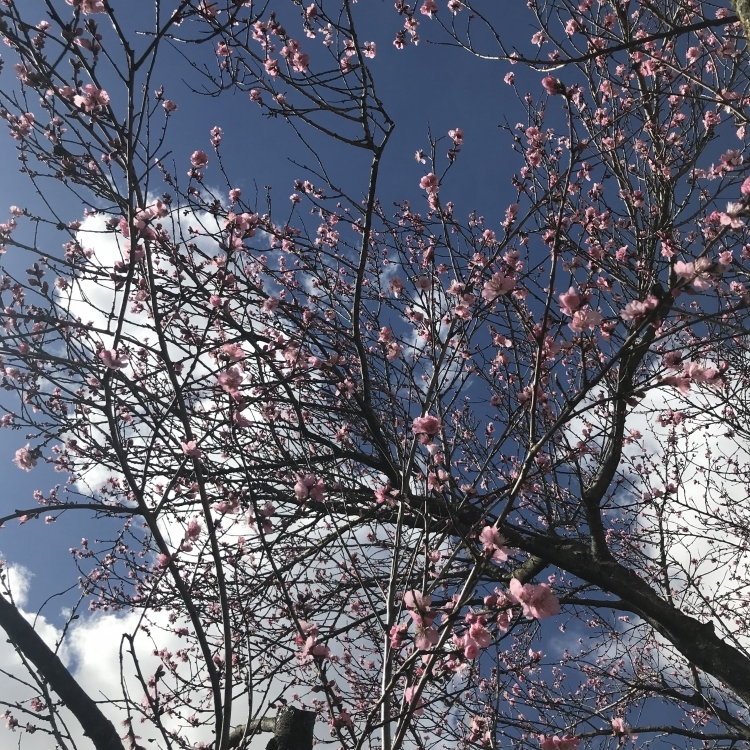 If you visit us in Spring time, you might see our Almond tree in full bloom