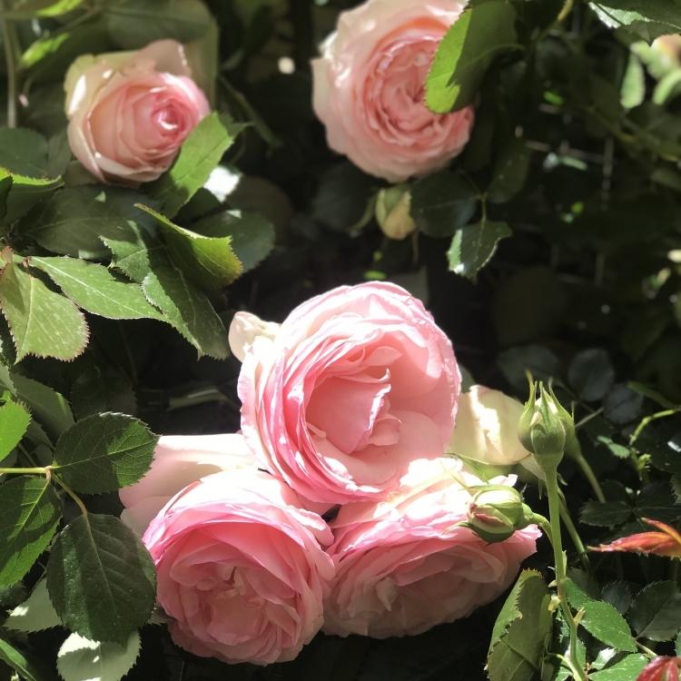 Our beloved Roses